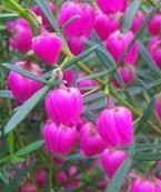 boronia-heterfolia