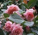 rose-compassion