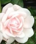 rose-new-dawn