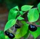 atropa-belladonna-fr