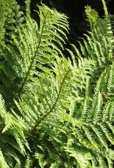 dryopteris-filix-mas-male-fern