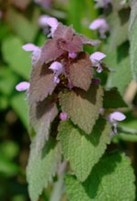 lamium-purpurea2