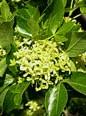 ptelea-trifolia-fl