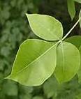 ptelea-trifolia-lv