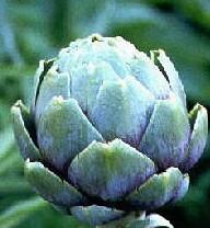 cynara-scolymus-in-bud