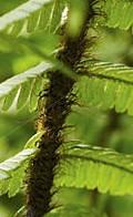 dryopteris-wallichiana-hair