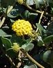 abronia-latifolia