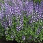 baptisia-purple-smoke