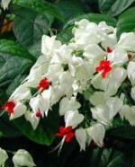 clerodendrum-thomsonia