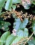 rubus-ichangensis-1