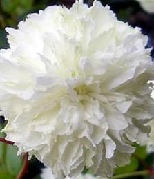 rubus-rosifolius-coronarius-mb