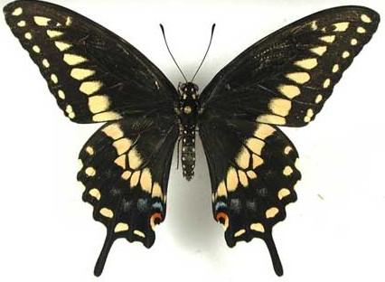 swallowtail black eastern male