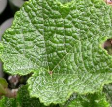 Rubus pentalobus 2