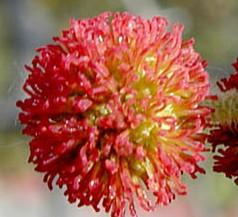 Plantanus racemosa fl