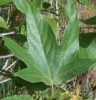 Platanus racemosa lvs