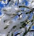 Populus alba cottonly