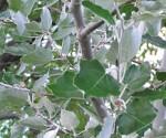 Populus alba lvs