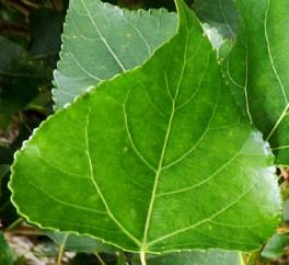 Populus-nigra-Italica-Lv