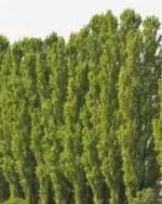 Populus-nigra-Italica_