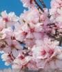 Prunus amygdalus fl