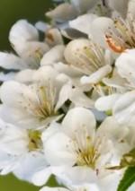 Prunus avium fl