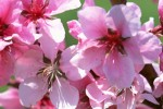 Prunus-persica fl