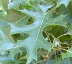 Quercus_coccinea_lv