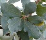 Quercus_douglasii-lv