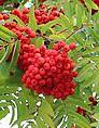 Sorbus_aucuparia_lv fr