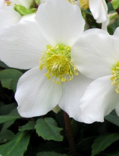 Helleborus niger 'Jacob' Skagit photo