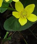 Caltha_palustris
