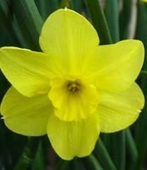 Narcissus_Trevithian