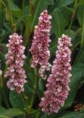 Persicaria affinis Donald Lowndes