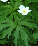 anemone_canadensis_