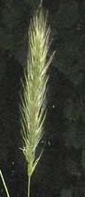 Elymus virginicus 2