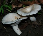 Lactarius_piperatus