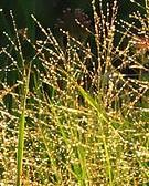 glyceria-grandis-