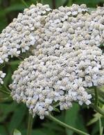 Achillea-grandifolia-