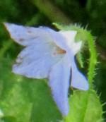 Borago laxiflora