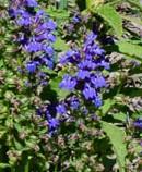Lobelia-siphilitica-Great-Blue-Lobelia