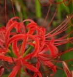 Lycoris radiata 2