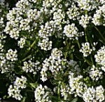 Scurvy-grass Cochlearia officinalis