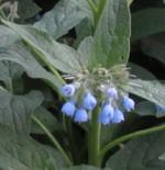 Symphytum caucasicum 2