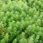 Artemisia-Abrotanum-2