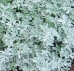 Artemisia-stelleriana 2