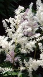 Astilbe simplicifolia 4