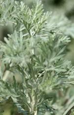 Artemisia_arborescens2