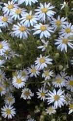 Aster linariifolia2
