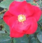 Rose Altissimo4