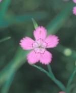 dianthus-deltoides3